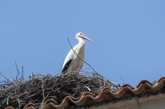 White stork, Ciconia ciconia. Adult of White stork, Ciconia ciconia on the nest. Photo taken in Soto del Real, Madrid, Spain Royalty Free Stock Photo
