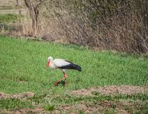 White stork or Ciconia bird on green summer field. White stork (Ciconia ciconia) bird on green summer field royalty free stock photography