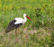 White Stork, ciconia ciconia Stock Images