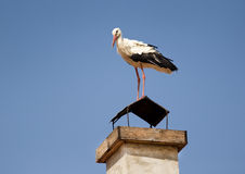 White Stork. (Ciconia ciconia) on a building chimney Stock Image