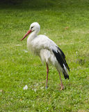 White Stork, Ciconia Ciconia, close-up portrait with defocused background, selective focus, shallow DOF Royalty Free Stock Photo