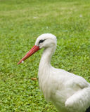 White Stork, Ciconia Ciconia, close-up portrait with defocused background, selective focus, shallow DOF Stock Photography