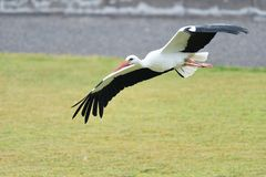 White stork ciconia ciconia. Close up of a white stork ciconia ciconia in flight royalty free stock image