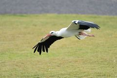 White stork ciconia ciconia. Close up of a white stork ciconia ciconia in flight stock image