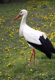 White stork. Ciconia ciconia on the farm rural scene Stock Photos