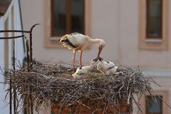Free White Stork, Ciconia Ciconia, In Nest On Old Brick Chimney With Rusty Ladder. Adult Stork Feeding Two Chicks. Nesting Birds Stock Images - 189481864