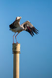 White stork (Ciconia ciconia) Royalty Free Stock Images