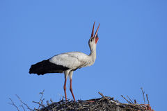 White stork Ciconia ciconia Stock Images