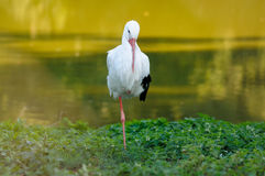 White Stork (Ciconia ciconia) Royalty Free Stock Photos