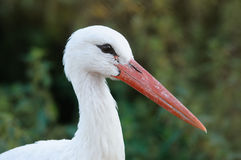 White Stork (Ciconia ciconia) Stock Photography