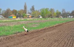 White stork Ciconia ciconia looking for food on plowed field in countryside. Stock Photography