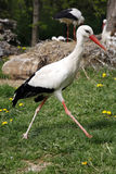 White stork. Ciconia ciconia in the meadow rural scene Royalty Free Stock Image