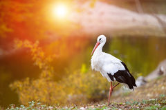 White stork. (Ciconia ciconia) in the morning light Royalty Free Stock Images