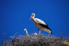 White Stork Ciconia ciconia in the nest Morocco Stock Photos