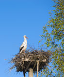 White Stork (Ciconia ciconia) in the nest Royalty Free Stock Image