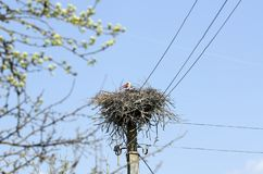White stork Ciconia ciconia in the nest. Nest is on electrical pole royalty free stock images