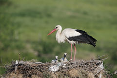 White stork, Ciconia ciconia Stock Photos