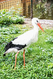 White stork - Ciconia ciconia in outdoors scene Stock Photos