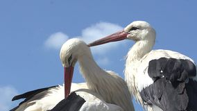 White Stork, ciconia ciconia, Pair Grooming, Alsace in France