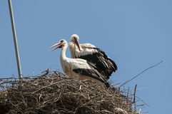 White stork, Ciconia ciconia. Pair of White stork, Ciconia ciconia on the nest. Photo taken in Soto del Real, Madrid, Spain Stock Image
