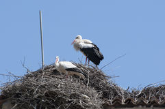 White stork, Ciconia ciconia. Pair of White stork, Ciconia ciconia on the nest. Photo taken in Soto del Real, Madrid, Spain Stock Images