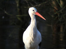White Stork Ciconia ciconia Royalty Free Stock Photos