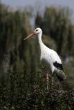 White stork, Ciconia ciconia Royalty Free Stock Photo