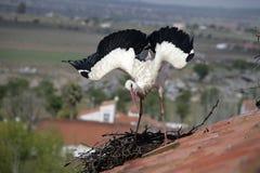 White stork, Ciconia ciconia, Stock Image