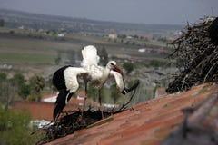 White stork, Ciconia ciconia, Royalty Free Stock Photo