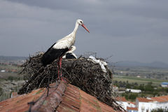 White stork, Ciconia ciconia, Royalty Free Stock Photography