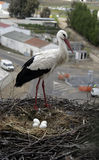 White stork, Ciconia ciconia, Stock Images
