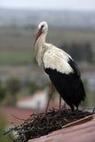 White stork, Ciconia ciconia, Stock Photo