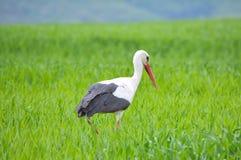 White stork (Ciconia ciconia) Royalty Free Stock Image
