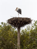 White stork (Ciconia ciconia) standing on its nest Stock Photography