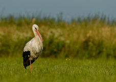 White stork(Ciconia ciconia) standing on the meadow. Poland in summer.White stork in the characteristic posture , standing on the one leg Stock Photo