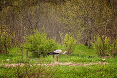 White stork Ciconia ciconia Royalty Free Stock Images