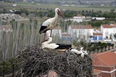 White stork, Ciconia ciconia, Royalty Free Stock Photos