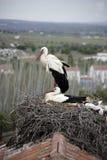 White stork, Ciconia ciconia, Royalty Free Stock Image