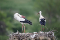 White stork, Ciconia ciconia Stock Photography