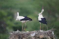 White stork, Ciconia ciconia Royalty Free Stock Image
