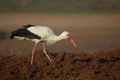 White stork (Ciconia ciconia). Royalty Free Stock Image