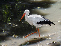 White stork (Ciconia ciconia). Is walking in a forest pond royalty free stock images
