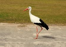 White stork Ciconia ciconia. Bird stock images