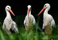 White stork Ciconia ciconia. On dark background stock image