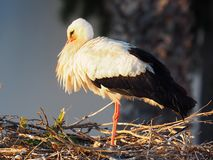 White Stork Or Ciconia Ciconia. Standing in nest on top of a church in Faro Portugal stock photography