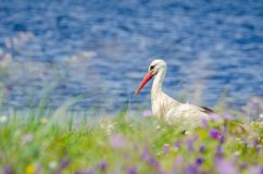 White Stork or ciconia ciconia. White Stork  or ciconia ciconia walking in field Stock Images