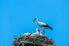 White stork - Ciconia ciconia royalty free stock image