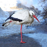 White stork (Ciconia ciconia) Stock Photos