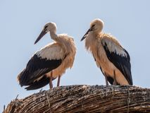 White Stork Ciconia ciconia. A stork couple White Stork, Ciconia ciconia is in their high nest and looks out over the surroundings stock photography