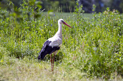 White stork Ciconia in green grass Royalty Free Stock Images